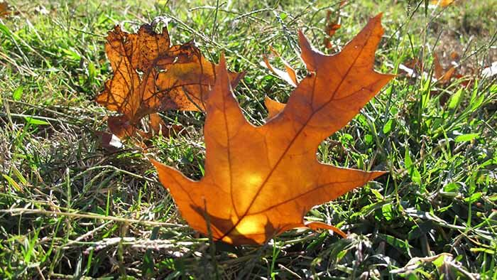 A fall leaf sticking up in the grass with sunlight illuminating it