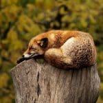 Sleepy fox on a stump
