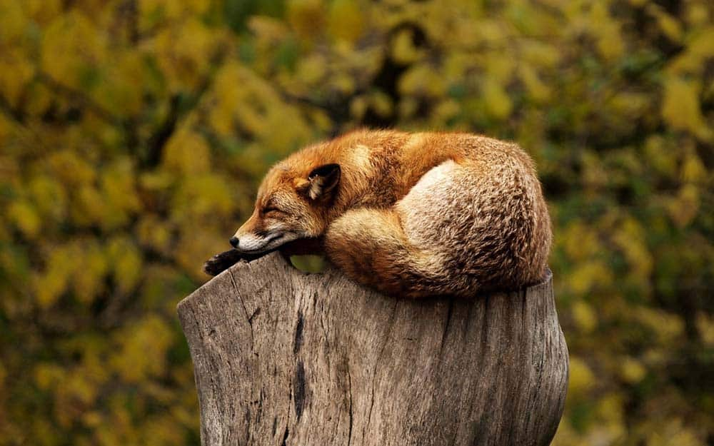 Sleepy fox on a stump